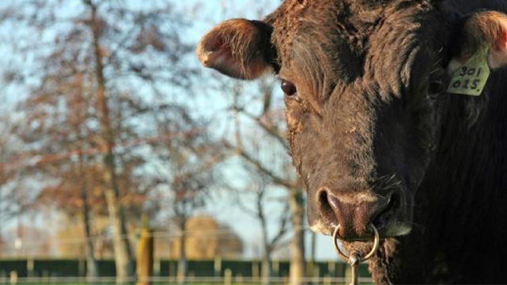 LIC UK SGL short gestation length bull