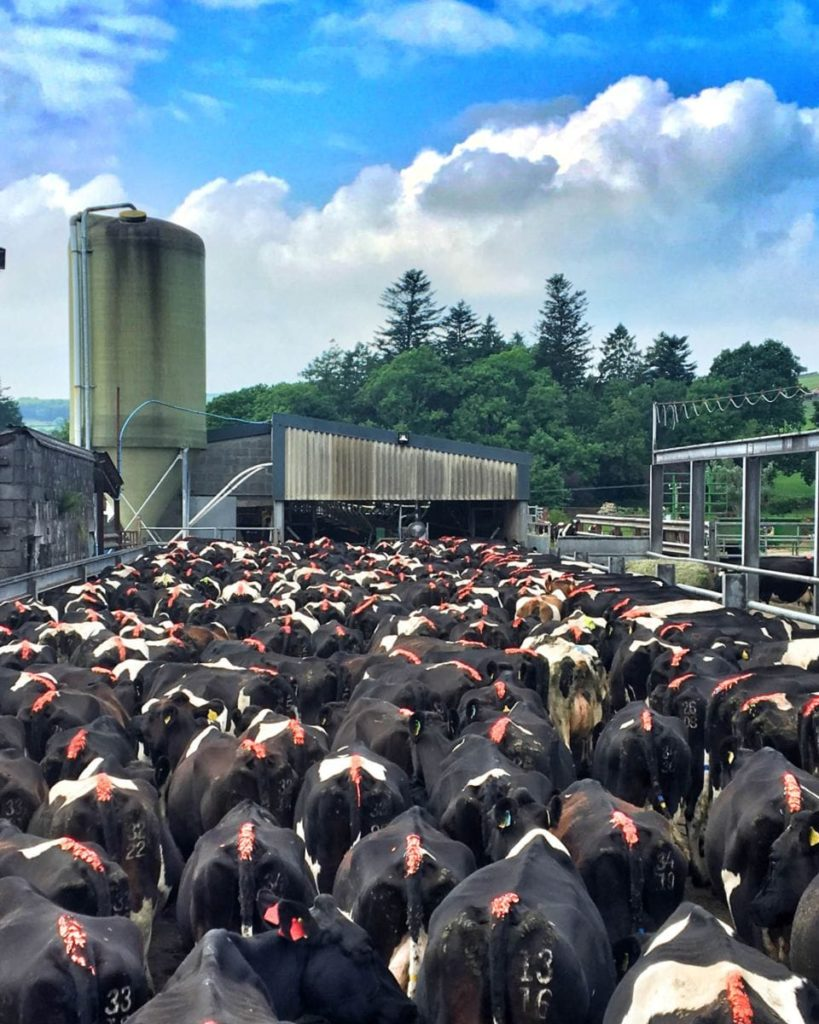 Herd of dairy cows waiting for milking