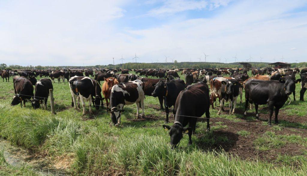 LIC dairy cows feeding