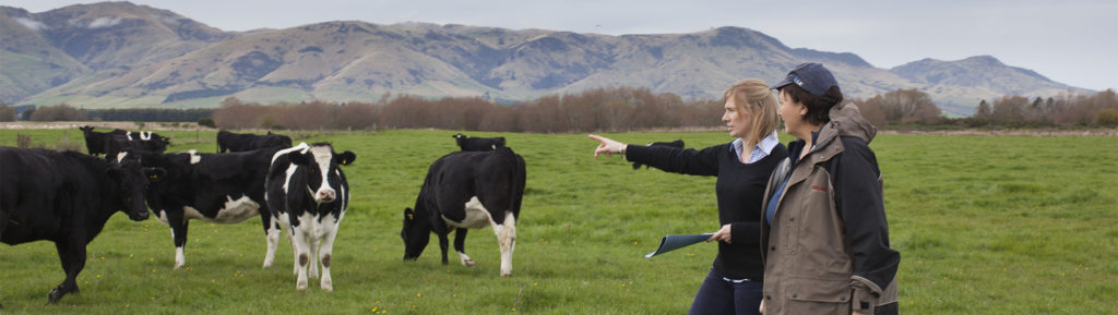 Evaluating dairy cows in New Zealand